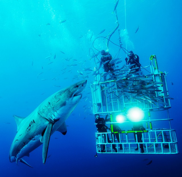 Diving With Sharks Off Guadalupe Island, Mexico