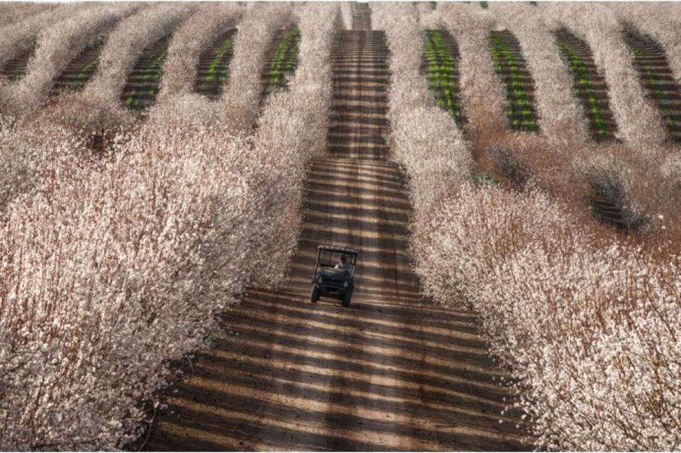 Tractor among almond fields, California